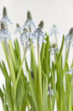 Muscari (Grape Hyacinth) Stock Image