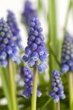 Muscari or grape hyacinth Stock Photography