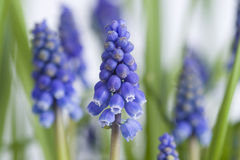 Muscari or grape hyacinth Stock Photo