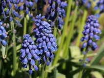 Muscari Or Grape Hyacinth In Bloom Royalty Free Stock Photography