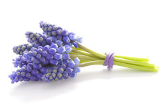 Muscari or grape hyacinth bunch  Stock Photography