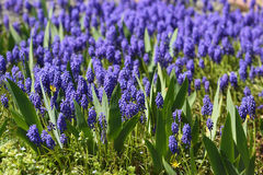 Muscari, Grape Hyacinth Stock Images