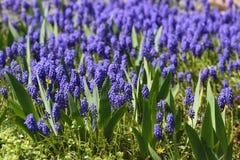 Muscari, Grape Hyacinth Stock Images