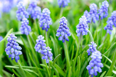 Muscari or grape hyacinths Royalty Free Stock Photo