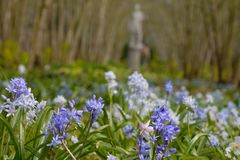 Muscari grape hyacinths in an English garden with a marmoreal sculpture in background stock photography