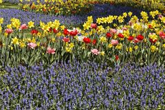 Muscari, grape hyacinths with tulips and daffodils Royalty Free Stock Photos