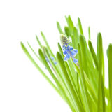 Muscari (grape hyacynth) Royalty Free Stock Photography
