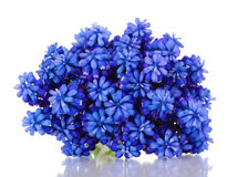 Muscari - hyacinth Stock Images