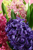 Muscari Hyacinth blossoms. Macro Stock Photo
