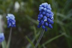 Muscari hyacinth blue flower green leaf close-up garden. Muscari blue flower green leaf close-up garden day nature blur background stock photo