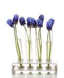 Muscari - hyacinth nas teste-câmaras de ar Imagens de Stock