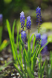 Muscari hyacinth in spring garden Royalty Free Stock Image