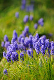 Muscari hyacinth Royalty Free Stock Photography