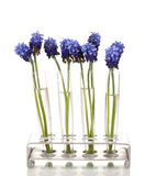 Muscari - hyacinth in test-tubes Stock Images