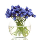 Muscari - hyacinth in vase Royalty Free Stock Photos