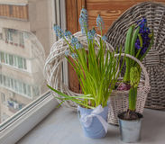 Muscari and hyacinths in pots on the balcony window Royalty Free Stock Photography