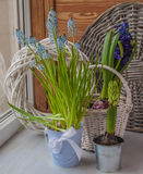 Muscari and hyacinths in pots on the balcony window Stock Images