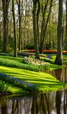 Muscari hyacinths and tulips by the lake at Keukenhof Gardens, Lisse, South Holland. Photographed in HDR high dynamic range. Vibrant colour flowers on display royalty free stock photo