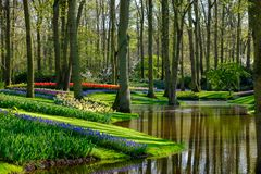 Muscari hyacinths and tulips by the lake at Keukenhof Gardens, Lisse, South Holland. Photographed in HDR high dynamic range. Vibrant colour flowers on display royalty free stock photos