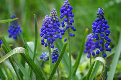 Muscari im Frühjahr im Garten lizenzfreies stockbild