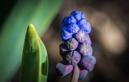 Muscari - jacinto de uva - florecimiento Foto de archivo libre de regalías