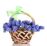 Muscari - jacinto en cesta Imagen de archivo libre de regalías