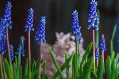 Muscari kwiatów kwiat w wiosna ogródzie Zdjęcie Royalty Free