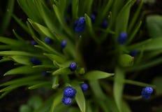 muscari kwiatów zielonego koloru liścia zakończenia ogródu błękitny cień Zdjęcia Stock