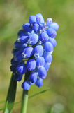 Muscari kwiat obrazy stock