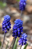 Muscari kwiat Obrazy Royalty Free