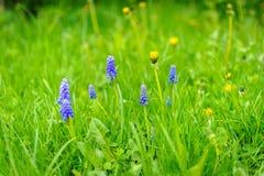Muscari kwiat na łące Zdjęcia Stock