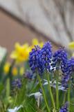 Muscari kwiat w wiośnie Japan Zdjęcia Royalty Free
