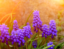 Muscari mill Royalty Free Stock Photography