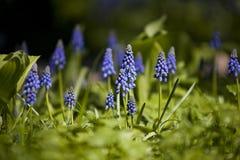 Muscari  (murine hyacinth) Royalty Free Stock Photography
