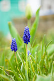 Muscari neglectum Stock Photo