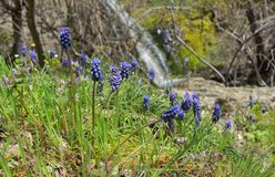 Muscari neglectum flowers in spring time stock photography