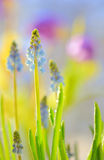 Muscari neglectum flowers Royalty Free Stock Photos