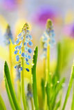 Muscari neglectum flowers Stock Images