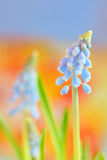 Muscari neglectum flowers Royalty Free Stock Photography