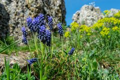 Muscari neglectum in front of some limestone rocks. The picture was taken in Hungary, Tihany near Geyser rocks. The yellow flower behind is Euphorbia Royalty Free Stock Images