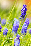 Muscari neglectum - Grape Hyacinth - Common Grape Hyacinth Royalty Free Stock Image