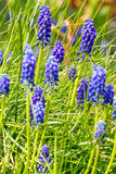 Muscari neglectum - Grape Hyacinth - Common Grape Hyacinth Stock Images