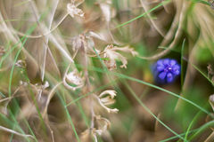 Muscari neglectum kwiat Zdjęcie Royalty Free