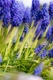 Muscari neglectum Royalty Free Stock Images