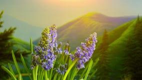 Muscari okwitnięcie w górach zbiory wideo