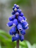 Muscari - plan rapproché bleu de jacinthe de raisin Images libres de droits