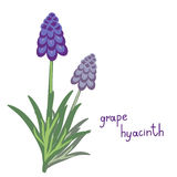 Muscari plant iilustration Royalty Free Stock Photography