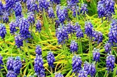 Muscari plants flowering Stock Images