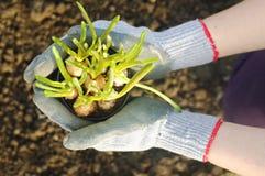 Muscari pot in hands Stock Photos