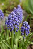Muscari purple spring  flowers. Muscari purple spring in a forest in a clearing close-up Stock Photography